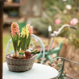 פרח היקינטון