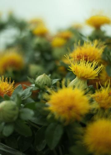 הידעתם שיש פרחים ועלווה שיש לטפל בהם במים רותחים?
