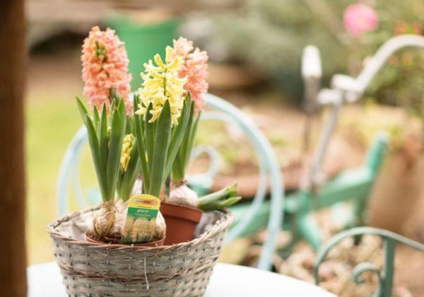 השראות מן הטבע – פרח היקינטון